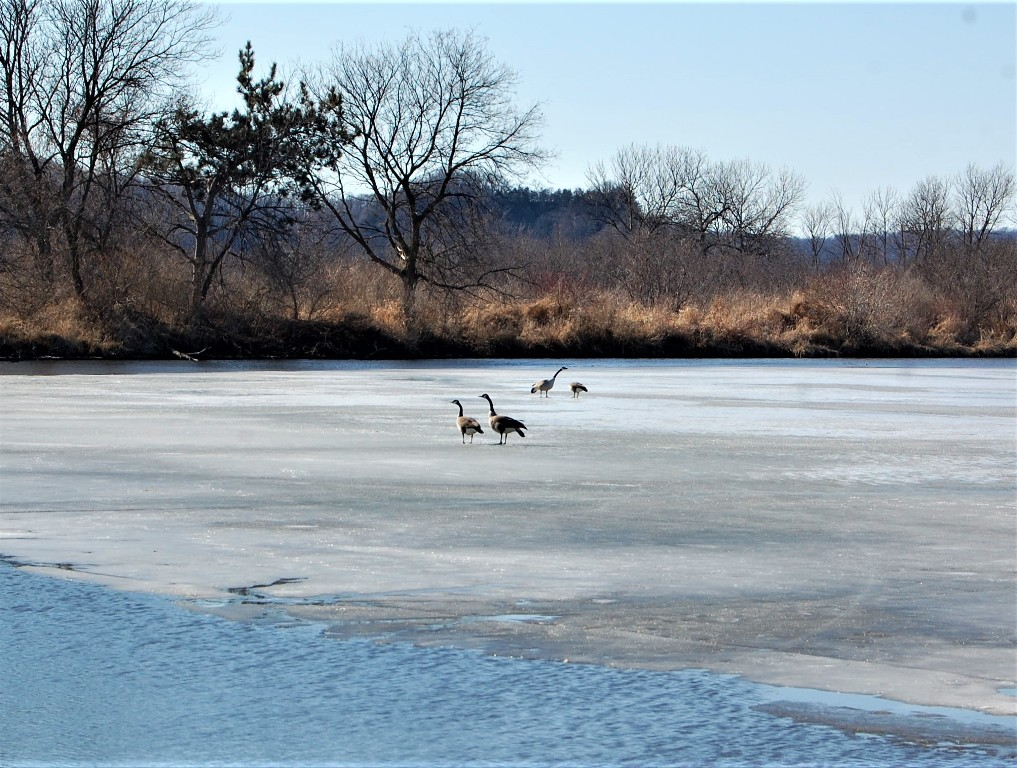 Canada Geese on Leland Pond March 2018